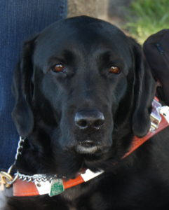 Black lab with snow sprinkled on the nose